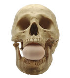 Egg in skull mouth. Royalty Free Stock Images