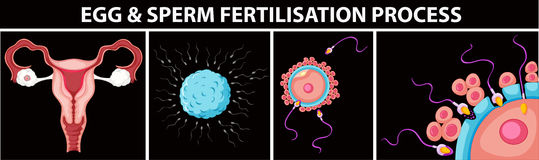 Egg and sperm fertilisation process. Illustration Royalty Free Stock Photo