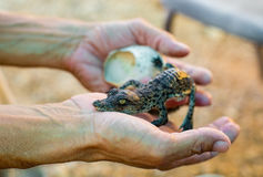 Egg there cub is American crocodile Stock Images
