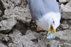 Egg thief. A Herring Gull (Larus argentatus) taking an egg from a Common Guillemot Stock Photos