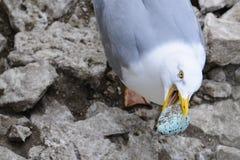 Egg thief. A Herring Gull (Larus argentatus) taking an egg from a Common Guillemot. Stora Karlso, Gotland, Sweden stock photos