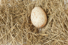 Egg of white-breasted waterhen Stock Photo