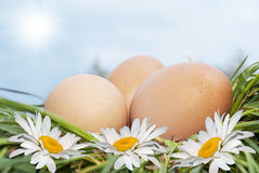 Egg and white camomile Royalty Free Stock Image