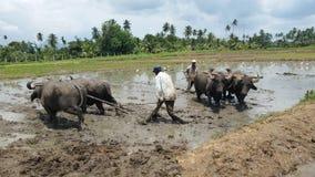Eggen des Reisanbaus durch die Anwendung des Büffels stockbild