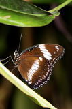 Eggfly Butterfly Stock Photo