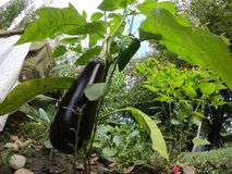 Eggfruit en groene paprika in een organisch landbouwbedrijf royalty-vrije stock afbeelding