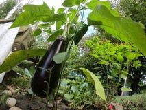 Eggfruit och spansk peppar i en organisk lantgård royaltyfri bild