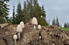 Egghead mottlegil mushroom on animal dung. Egghead mottlegil Paneolus semiovata growing on animal dung. This mushroom is considered a toadstool which can provoke stock image