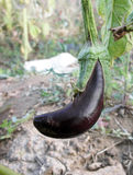 ٍEggplant. Close up of eggplant in farm Stock Image