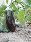 Eggplant. Close up of eggplant in farm Royalty Free Stock Photos