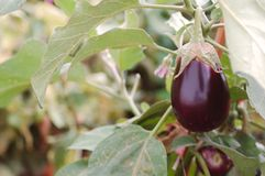 Eggplant. Plant grown in nature Stock Images