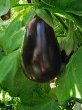Eggplant. Growing on the vine Stock Photo