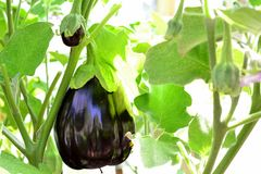 Eggplant (aubergine) in the greenhouse Royalty Free Stock Photo