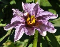 Eggplant blooms stock photography