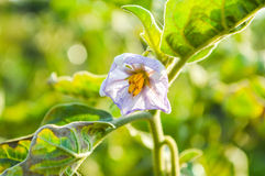 Eggplant flower Stock Image