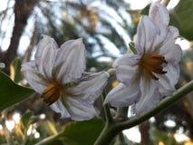 Eggplant flower royalty free stock photography