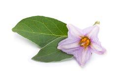 Eggplant flower Stock Photos