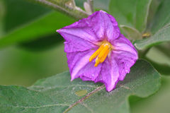 Eggplant flowers blooming in nature Royalty Free Stock Photo