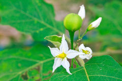 Eggplant. With flowers growing in the garden Royalty Free Stock Photography