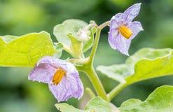 Eggplant flowers - Solanum virginianum L. Stock Photos