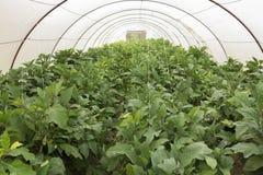 Eggplant Fresh Green Crop Stock Photos