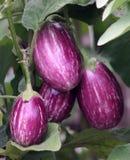 Eggplant fruit. Egg plant violet and white fruit on the wegetable garden Stock Images