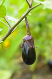 Eggplant fruit growing in the garden in autumn Royalty Free Stock Image