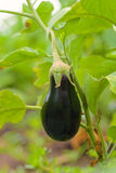 Eggplant fruit growing in the garden in autumn Royalty Free Stock Images