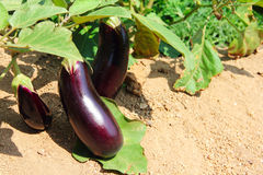 Eggplant fruits growing in the garden Royalty Free Stock Photo