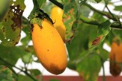 Eggplant fruits Royalty Free Stock Photography