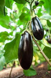 Eggplant in the garden. Eggplant fruits growing in the garden royalty free stock image