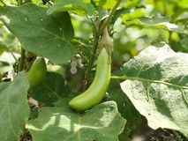 Eggplant green vegetables Royalty Free Stock Photography