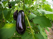 Eggplant in a greenhouse. Ripe purple eggplant growing in a greenhouse in the netherlands Stock Photos
