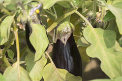 Eggplant growing, aubergine Stock Images