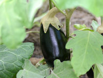 Eggplant growing in garden Stock Photos