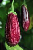 Eggplant Growing on a Tree Stock Photo