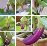Eggplant growth stages Stock Image