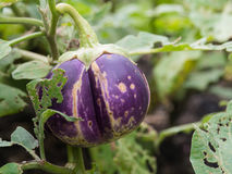 Eggplant hanging on the branch Stock Photos
