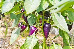 Eggplant hanging on a bush Stock Photos