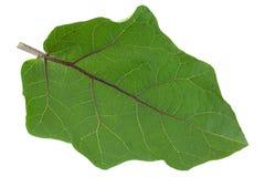 Eggplant leaf closeup on white Royalty Free Stock Images