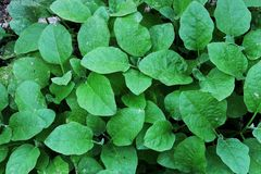 Eggplant Leaves, small green leaves, image background stock images