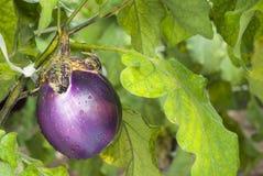 Eggplant. On plant, field, purple Stock Photo