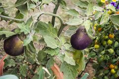 Eggplant plant in garden. The vegetable is grown in the pots stock photos