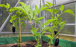 Eggplant plants in the greenhouse Stock Photo