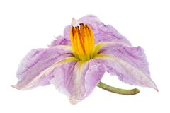 Eggplant purple flower on white Stock Photo