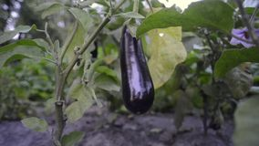 Eggplant ripening on branch stock footage