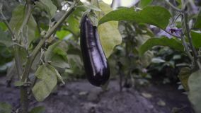 Eggplant ripening in garden stock footage