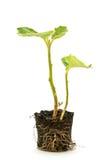 Eggplant seedling Stock Image