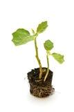 Eggplant seedling Stock Photo