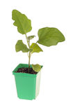 Eggplant seedling ready for transplanting Royalty Free Stock Photography